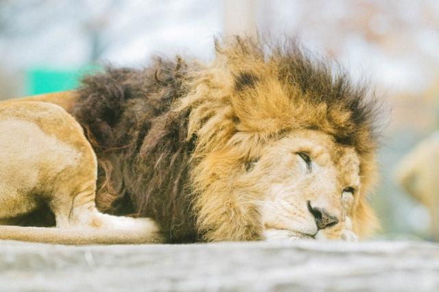 コアラのエサ代は百獣の王を超える!天王寺動物園の運営が厳しい理由2